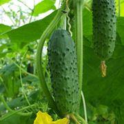 coltivare cetrioli