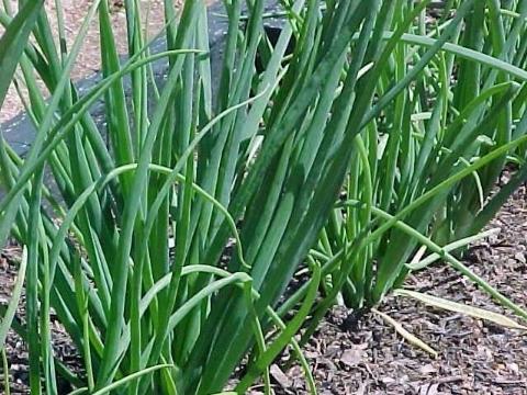 Coltivazione cipolla ortaggi for Semina cipolle