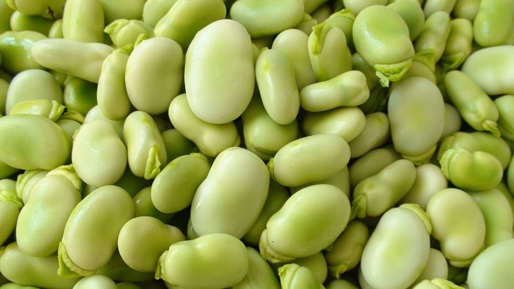 Coltivare le fave