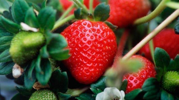 Coltivazione fragola ortaggi coltivare le fragole for Pianta di fragole