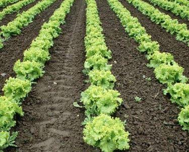 coltivazione lattuga