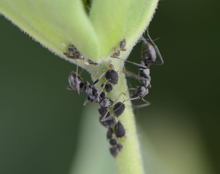 Germogli afidi