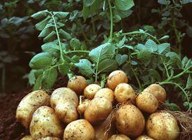 Coltivazione patata