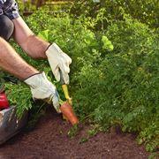 piantare le patate