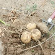 quando si piantano le patate