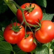 Irrigare pomodori