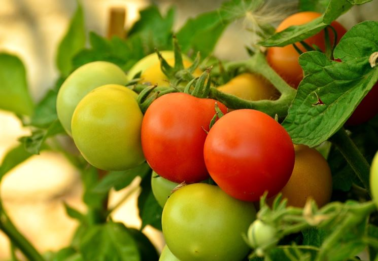 coltivare pomodori