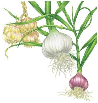 Vari tipi di aglio