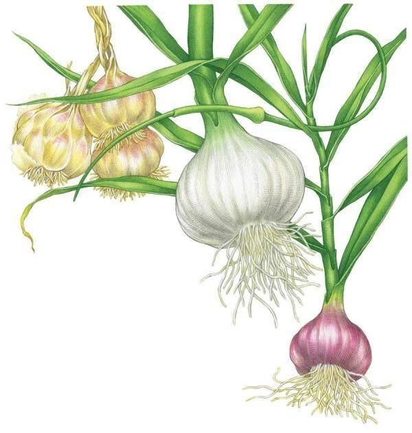 Come piantare aglio ortaggi consigli per piantare l 39 aglio for Aglio pianta