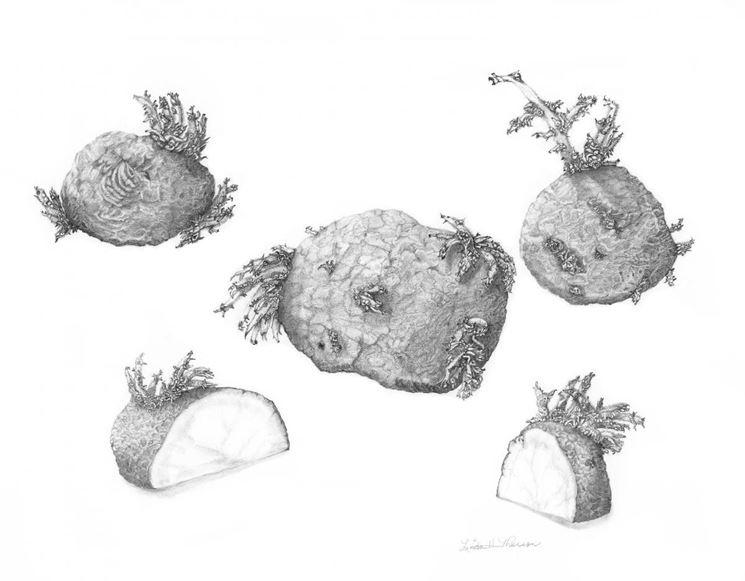 Disegno botanico di Solanum Tuberosum
