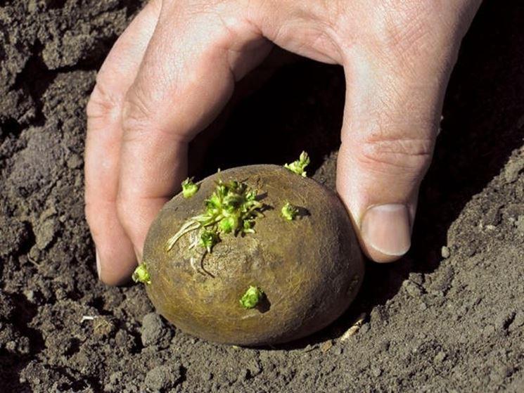 Un tubero-seme per la semina delle patate