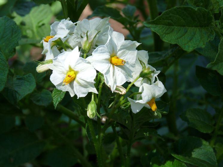 I fiori prodotti dalle piante delle patate