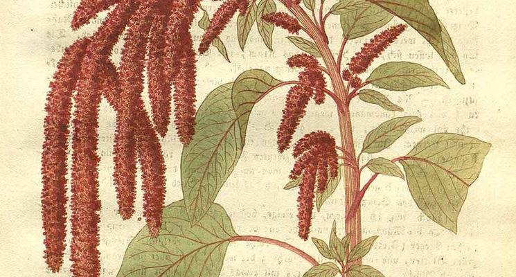 Illustrazione botanica di Amaranthus caudatus