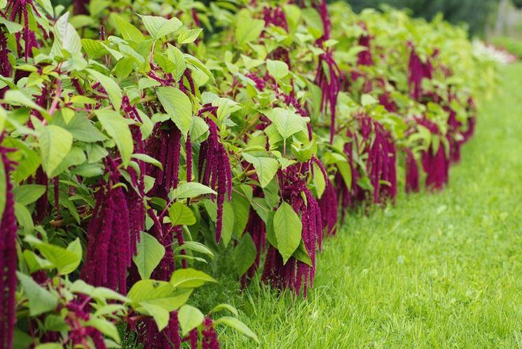 Piante di Amaranthus caudatus, usate anche a scopo ornamentale