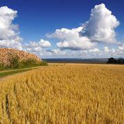 coltivare grano