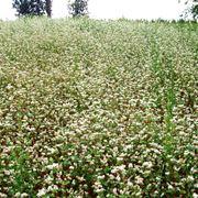 Piante di grano saraceno