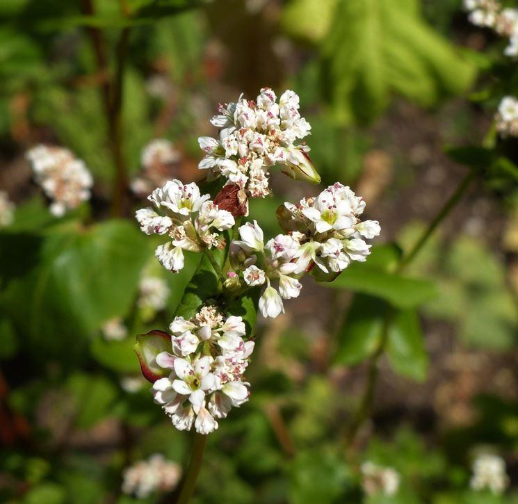 Fiore di grano saraceno
