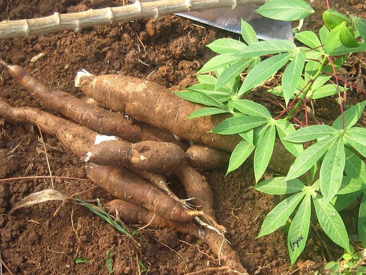 coltivare la tapioca