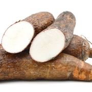 tapioca pianta