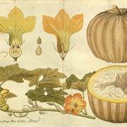 Disegno botanico della cucurbita pepo