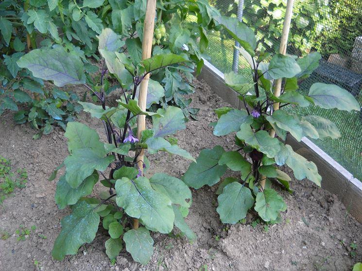Melanzane innestate ortaggi melanzane coltivate in for Piantine ortaggi