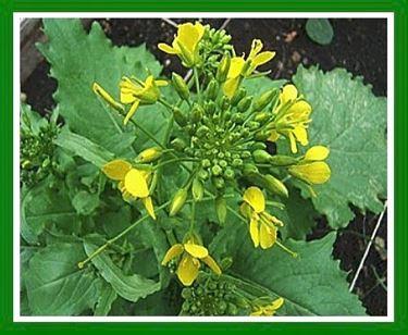 Cima di rapa o Brassica rapa