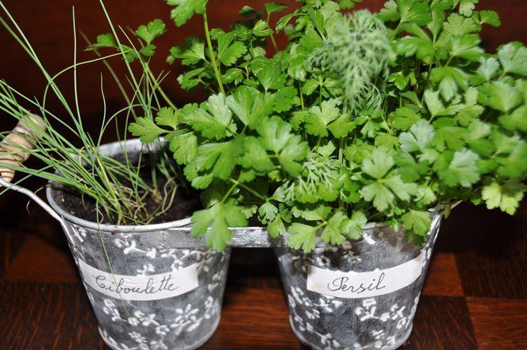 Consociazione di prezzemolo e erba cipollina