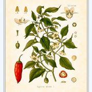 Disegno botanico di capsicum annuum
