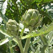 semina carciofi