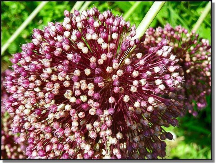 fiore d'aglio