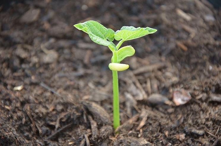 pianta di fagiolo germogliata