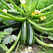 Pianta di zucchina