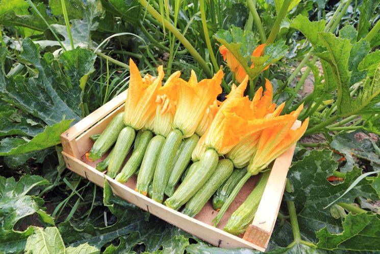 Zucchini con fiore