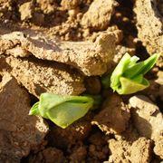semina fave
