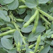 piantare fave
