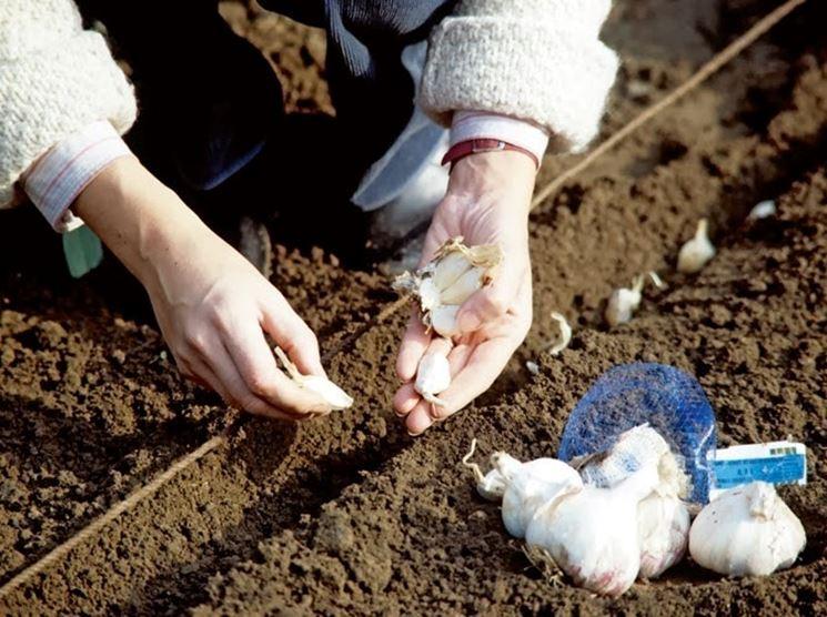 Semina dell'aglio