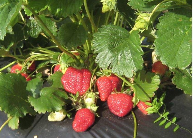 Piante di fragole ortaggi caratteristiche della pianta for Fragole piante in vaso