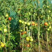 Piante di pomodoro