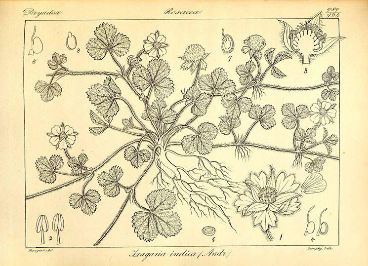 Illustrazione botanica di una specie del genere Fragaria