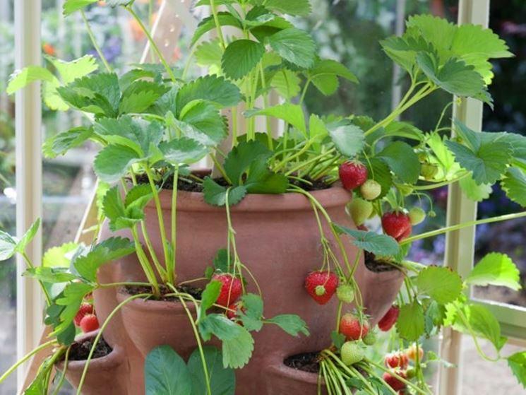 Piantine di fragole coltivate nell'apposito vaso