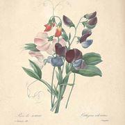 Disegno botanico dei piselli odorosi