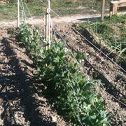 Fila piante piselli orto