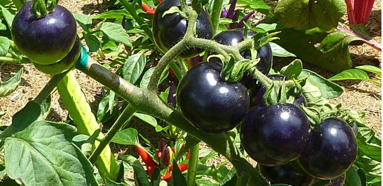 Pomodori neri sulla pianta