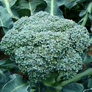 Broccolo calabrese