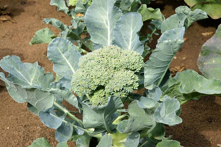 Broccolo calabrese in piena terra