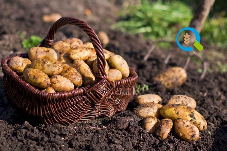 Quando piantare le patate ortaggi quando e come for Raccolta patate