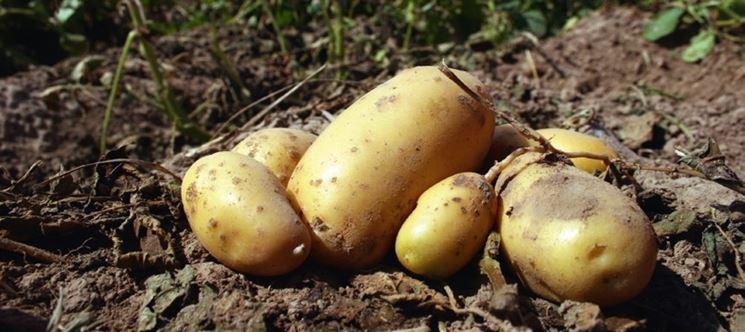 Patate fresche