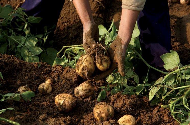 Quando seminare le patate ortaggi semina delle patate for Raccolta patate