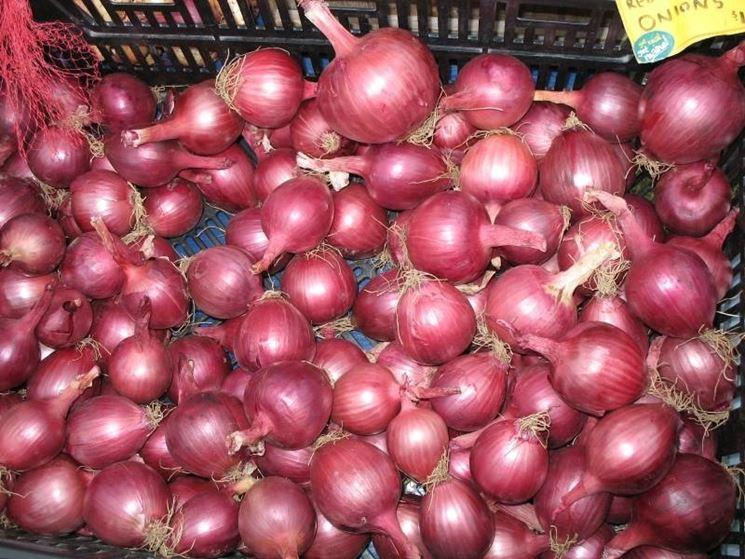 Cipolle raccolte
