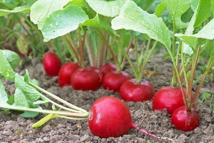 Coltivazione ravanelli